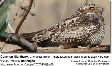 Common Nighthawk, Chordeiles minor - Photo taken near picnic area at Swan Falls dam