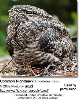 Common Nighthawk, Chordeiles minor