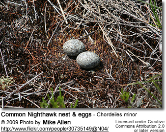 Common Nighthawk nest & eggs - Chordeiles minor