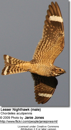 Lesser Nighthawk (male)