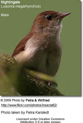 Male Nightingale