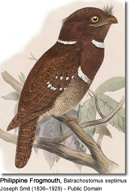 Philippine Frogmouth (Batrachostomus septimus)