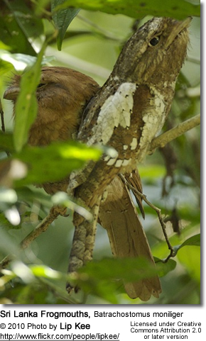 Sri Lanka Frogmouth, Batrachostomus moniliger