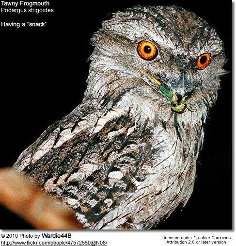 Tawny Frogmouth, Podargus strigoides - Note the snack