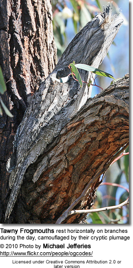 Tawny Frogmouths rest horizontally on branches during the day, camouflaged by their cryptic plumage