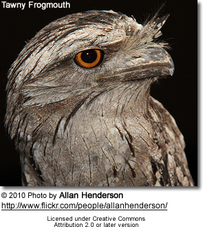 Tawny Frogmouth Head Detail