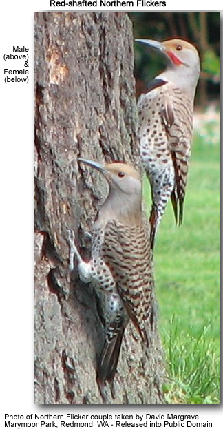 Male and Female Red-shafted Northern Flickers