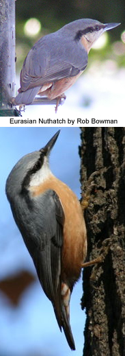 Eurasian Nuthatches