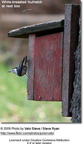 White Breasted Nuthatch at nestbox