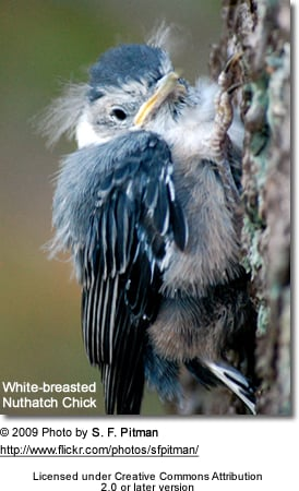 White-breasted Nuthatch chick