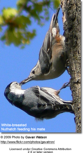White-breasted Nuthatchers