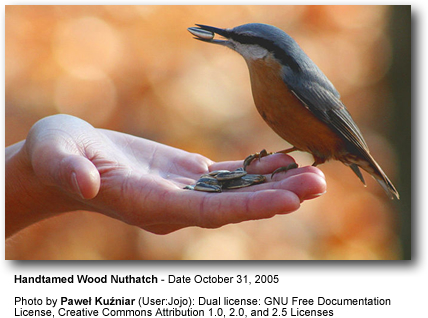 Handfeeding Wood or Eurasian Nuthatch