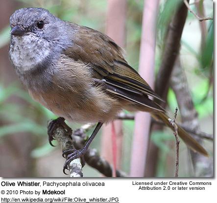 Olive Whistler, Pachycephala olivacea