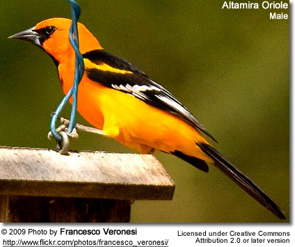 Altamira Oriole, Male