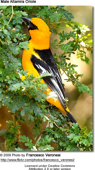 Male Altamira Oriole