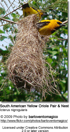 South American Yellow Oriole Pair and Nest