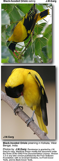 Black-hooded Orioles