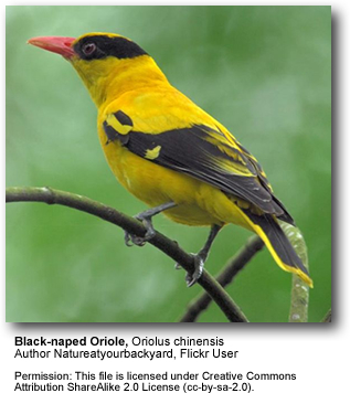 Black-naped Orioles