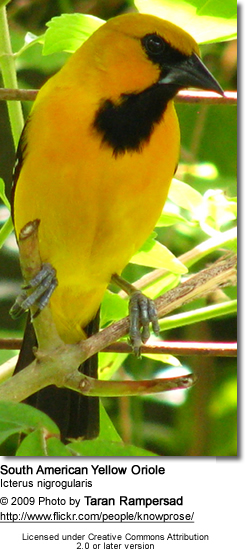 South American Yellow Orioles