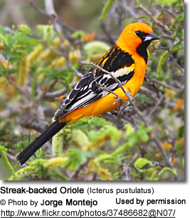 Streaked-backed Orioles