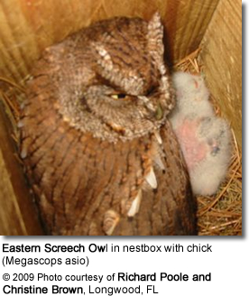 Eastern Screech Owl in nestbox with chick (Megascops asio)