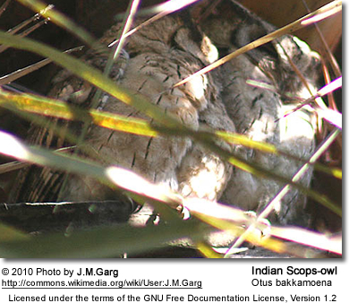 Indian Scops-owl (Otus bakkamoena) at Bharatpur, Rajasthan, India.