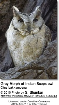 Grey Morph of Indian Scops-owl