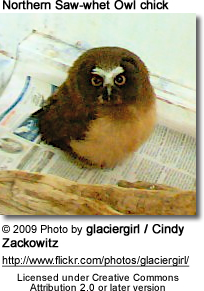 Northern Saw-whet Owl chick