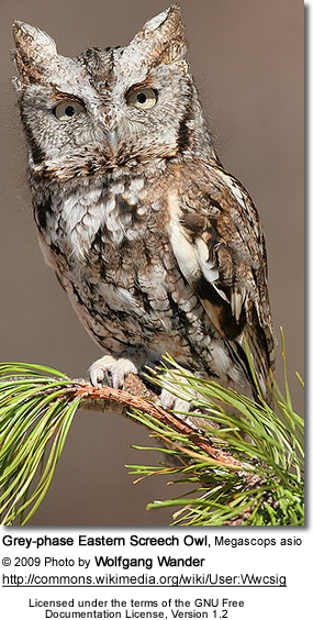 Eastern Screech Owl Grey Phase