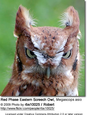 Red Phase Eastern Screech Owl, Megascops asio