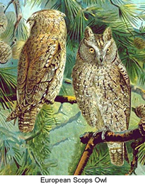 European Scops Owls