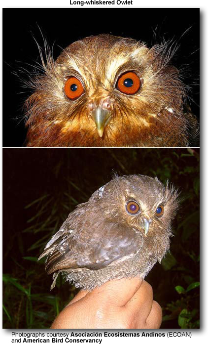 Long-whiskered Owlets