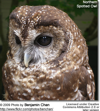 northern spotted owl head detail