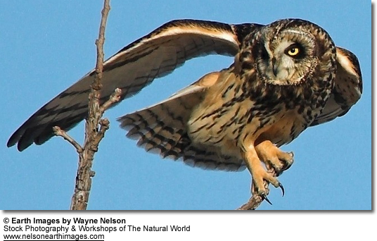 Short-tailed Owl - stretching