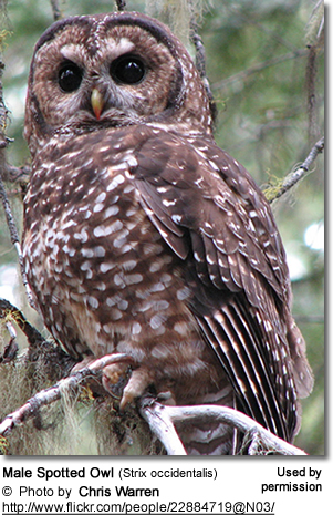 Spotted Owl - Adult Male