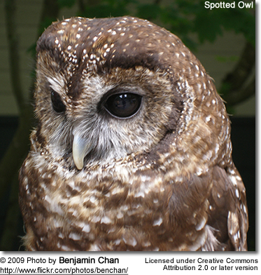 Spotted Owl head detail