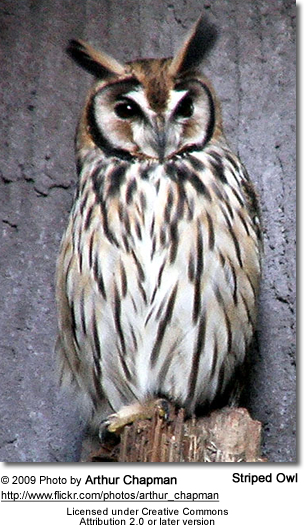 Striped Owl