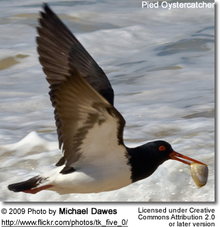 Pied Oystercatcher with oyster in his beak