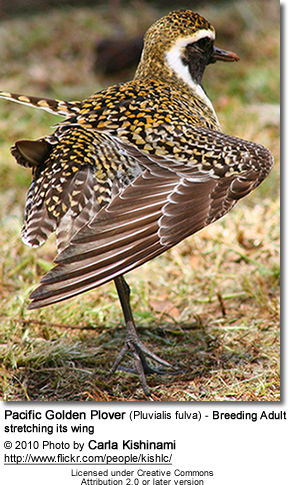 Pacific Golden Plover (Pluvialis fulva) - Breeding Adult