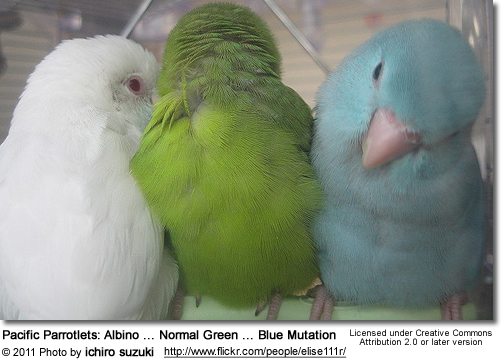 Pacific Parrotlets: 1 Albino, 1 Normal Green, 1 Blue Mutation