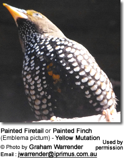 Painted Firetail or Painted Finch (Emblema pictum) - Yellow Mutation