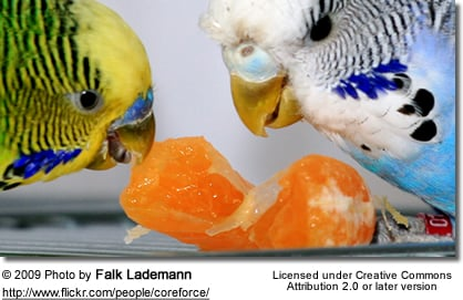 Parakeets feeding on an orange