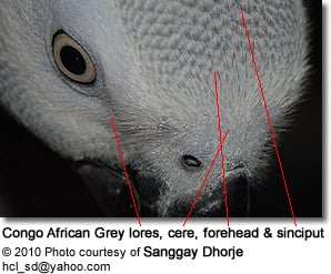 African Grey Head Detail: Lores, Forehead, Ceres