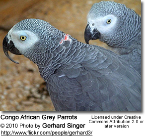 Congo African Greys - also known as CAGs - please note the unusual red feathers on the back of the neck