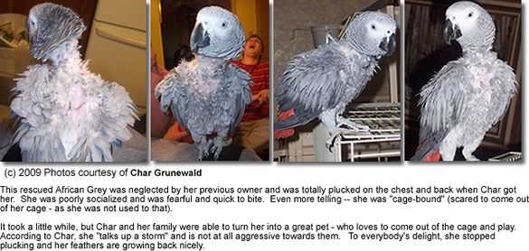 Feather-plucking African Grey