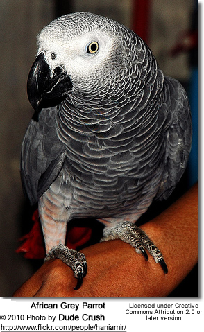 TAG - Timneh African Grey Parrot