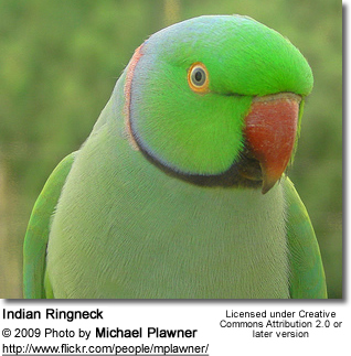 Indian Green Parrot Baby The Diet / Nutr...