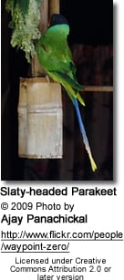 Twenty-Eight Parrots, also known as Yellow-collared Parrots, (Barnardius zonarius semitorquatus)