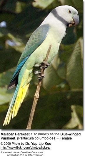 Malabar Parakeet also known as the Blue-winged Parakeet, (Psittacula columboides)