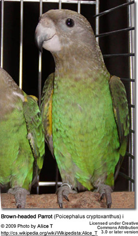 Brown-headed Parrot (Poicephalus cryptoxanthus) i